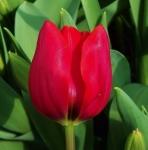tulipbastogne (296x300)