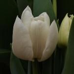 tulipmondial (300x299)