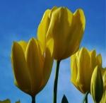 tulipyellowemp (300x293)