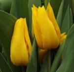 tulipyokohama (300x293)