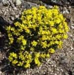 alpdrababrunifolia (298x300)