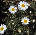 alprhodanthemumnosmariense (300x294)