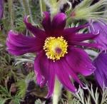 anemonepaga (300x292)