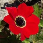 anemonepavonina (295x300)