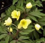 anemonevindo (300x290)