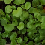 greenswatercress (299x300)
