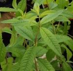 herbaloysia (300x292)