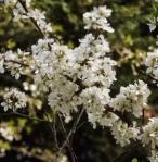 prunusspinosa (293x300)