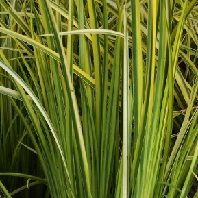Ornamental grasses iv mike 39 s garden top 5 plants for Spiky ornamental grass