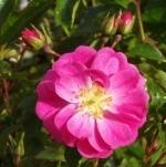 rosatoscanovigorosa (298x300)