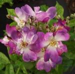 rosaveichenblau (300x297)