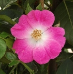 roseamericanpillar (294x300)