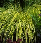 grasscarexelataaurea (286x300)
