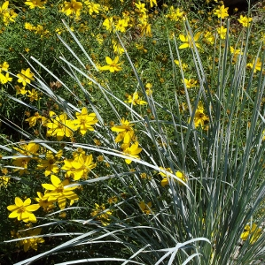 Ornamental grass companions mike 39 s garden top 5 plants for Ornamental grass with yellow flowers