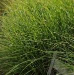 grassstardust (295x300)
