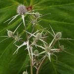 eryngiumvarifolium (300x300)