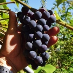 grapesovereigncornonation (300x298)