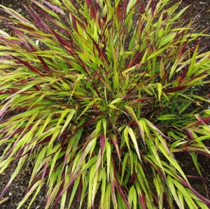 An ornamental grass sampler ii mike 39 s garden top 5 plants for Red and green ornamental grass