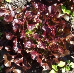 lettuce4 (300x298)