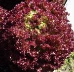 lettucenafividad (300x293)