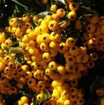 pyragolden (298x300)