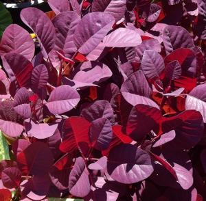 Foliage shrubs mikes garden top 5 plants cotinusroyalcloak 300x294 mightylinksfo
