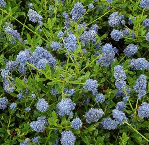 Evergreen shrubs mike 39 s garden top 5 plants for Blue flowering bush