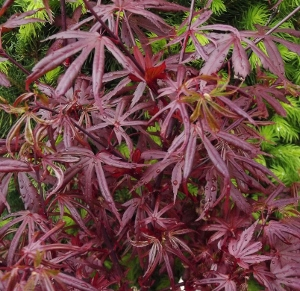 japanese maples acer palmatum mike 39 s garden top 5 plants. Black Bedroom Furniture Sets. Home Design Ideas