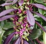 daphne genkwahackenberrygroup (300x287)