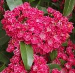 kalraspberryglow (300x293)