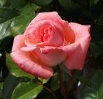 rosaladydi (300x289)