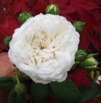 rosalongjohnsilver (295x300)
