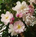 rosebrendacolvin (294x300)