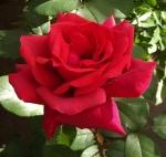 rosefracloud (300x284)