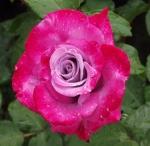 roseparadise (300x292)