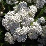achilleamillefolium (297x300)