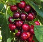 cherryglacier (300x296)