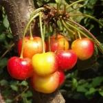 cherryrainier (299x300)