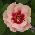 rosabullseye (300x298)