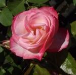 rosecorettascottking (300x297)