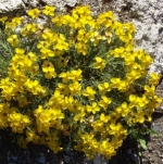 zinniagrandiflora (298x300)