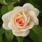 rosafrancesmeilland (300x296)