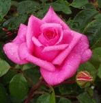 rosarhonda (296x300)