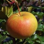 applesalish (298x300)