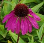 echinaceapurpleemperor (300x296)