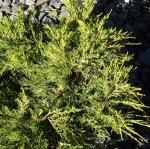jumpfitzerianaaurea (300x299)