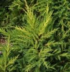 juniperdaubsfrosted (291x300)