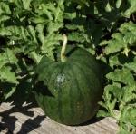 watermelonsugarbaby (300x297)