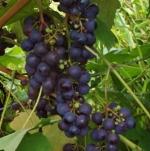 grapezifandel (298x300)