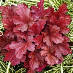 the normative shift by coral bell Heuchera plants have come a long way from the traditional coral bells here are  some growing tips for these widely adaptable, colorful foliage.